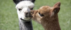 Weekly Meeting; Topic: Alpacas @ The Gathering Place